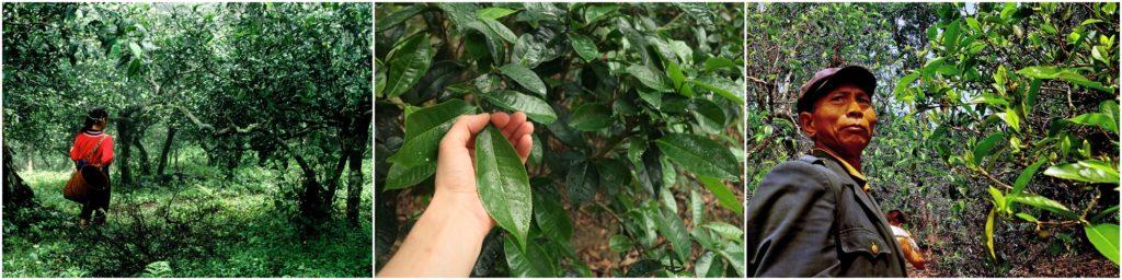 Одним из самых старых чайных деревьев обнаруженно в 1996 году имеет возраст более 2700 лет