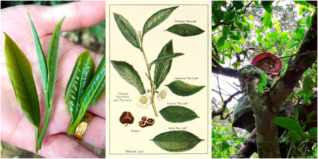 Camelia Sinensis - чайное дерево